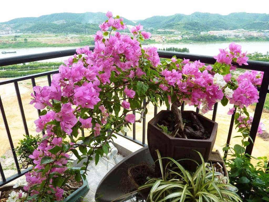 hoa-trong-ban-cong-hoa-giay1