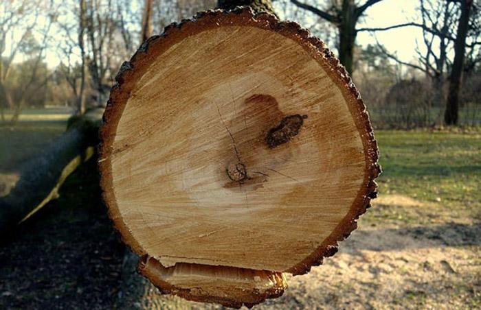 Cây gỗ với vỏ màu nâu xám và tâm gỗ màu sáng