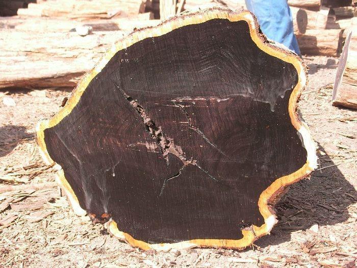 Gỗ có màu đen đặc trưng với đường kính trung bình 0,3m