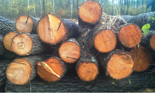 Gỗ trăn là loại gỗ có tên khoa học là Alnus rubra