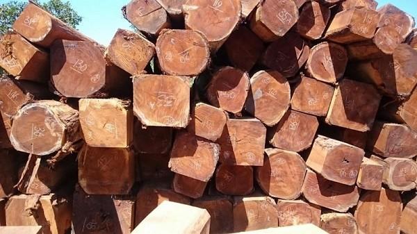 Gỗ sến là một loại gỗ cực kỳ quý hiếm