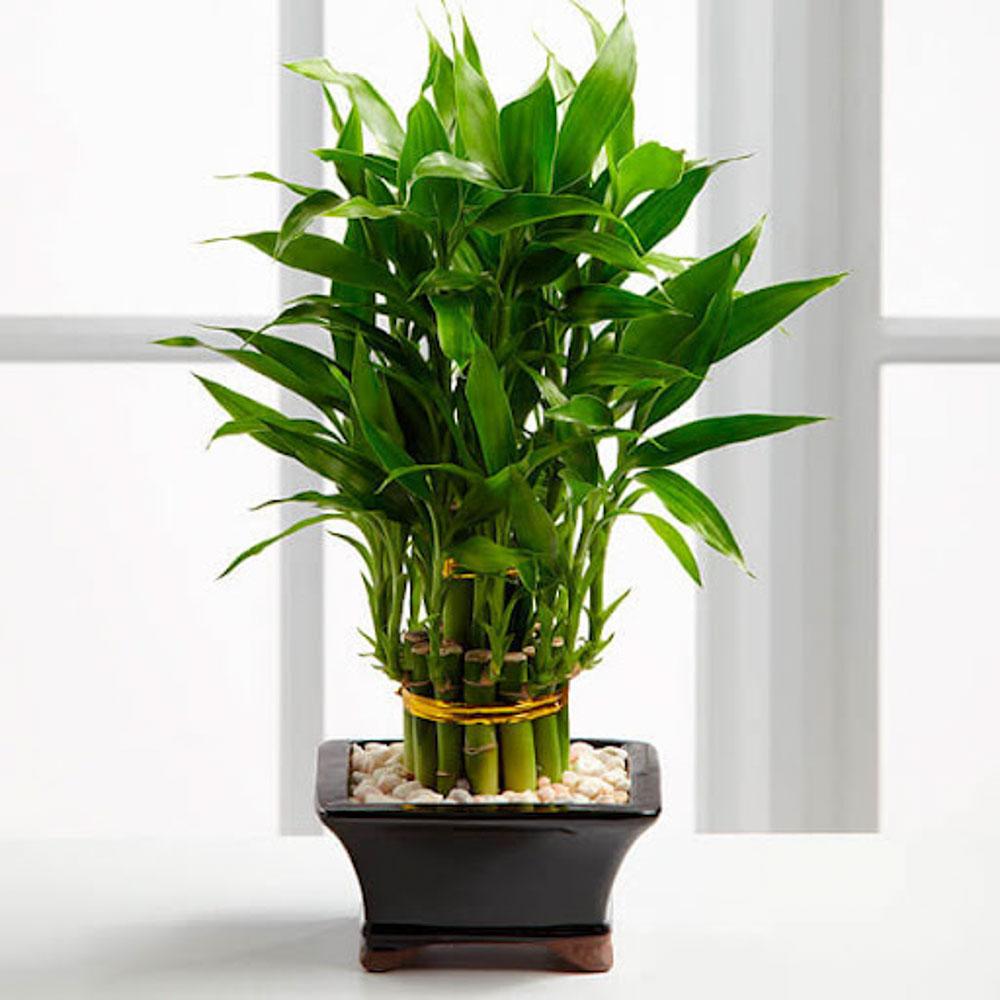 Đây là một trong những loại cây mang đến sự may mắn cho gia chủ và thể hiện được sự phát tài phát lộc